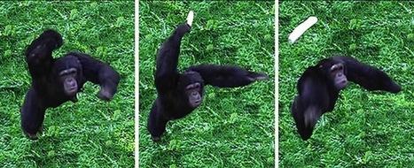 » Poop-Throwing Chimps Provide Hints of Human Origins | Strange days indeed... | Scoop.it