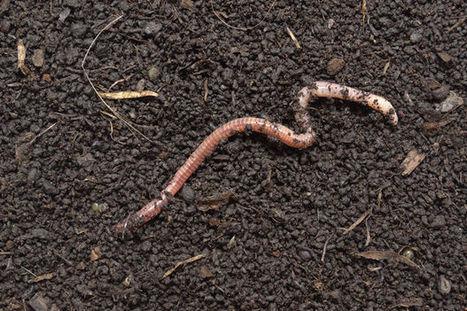 Une arme secrète cachée dans l'intestin des vers de terre | Agriculture citadine | Scoop.it