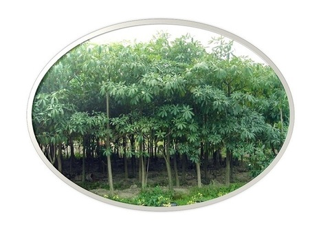 Shadow tree nurseries in kaimganj, Farrukhabad & India | sachin nursery | Scoop.it