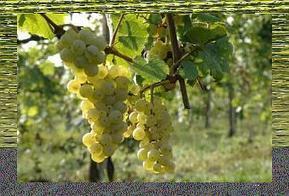 Vino e Salute: le proprietà dello spumante Incrocio Manzoni - Paperblog   Social Mercor It   Scoop.it