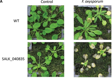 J Exp Bot: Characterization of a JAZ7 activation-tagged Arabidopsis mutant with increased susceptibility to the fungal pathogen Fusarium oxysporum | Publications from The Sainsbury Laboratory | Scoop.it