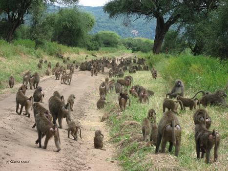 Estudian en primates el efecto de la socialización sobre la salud   Salud, deporte y viajar   Scoop.it