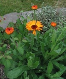The Cosmetic Benefits Of Calendula - Greenchedy | Herbs And Herbal Remedies | Scoop.it