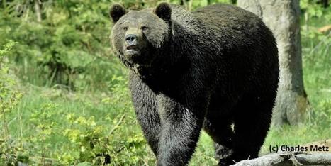 La commission presse la France de sauver l'ours des Pyrénées | Chronique d'un pays où il ne se passe rien... ou presque ! | Scoop.it