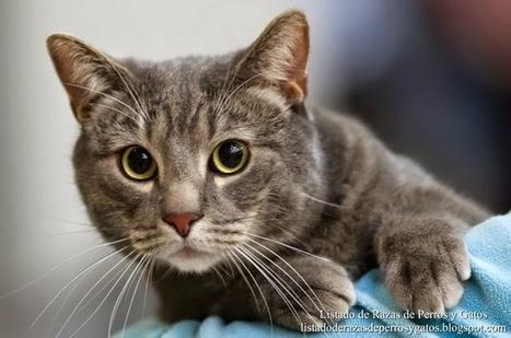 Listado de Razas de Perros y Gatos. Todos los tipos...: Raza de Gato Europeo, Gato Romano, Gato Comun Europeo, Europeo de Pelo Corto (European Shorthair Cat) | Mascotas | Scoop.it