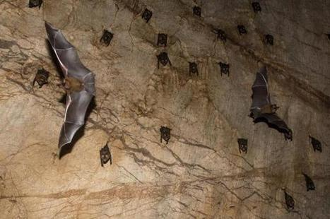 Researchers find SARS-like virus that can jump from bats to humans - UPI.com | Bat Biology and Ecology | Scoop.it