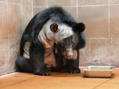First Brain Surgery Performed on Bear | Viva Technics | Chemistry Project | Scoop.it