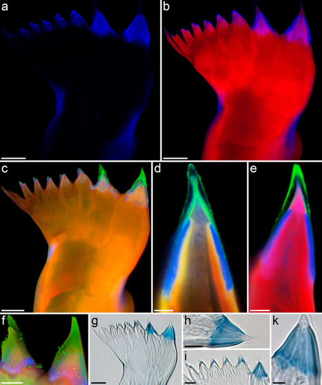 Tools for crushing diatoms – opal teeth in copepods feature a rubber-like bearing composed of resilin | Amazing Science | Scoop.it