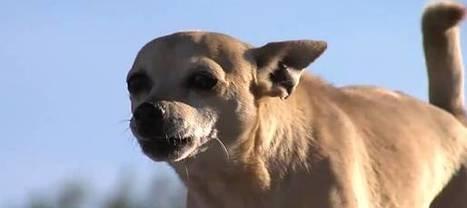 Un gang de chihuahuas terrorise un quartier de Phoenix aux Etats-Unis   CaniCatNews-actualité   Scoop.it