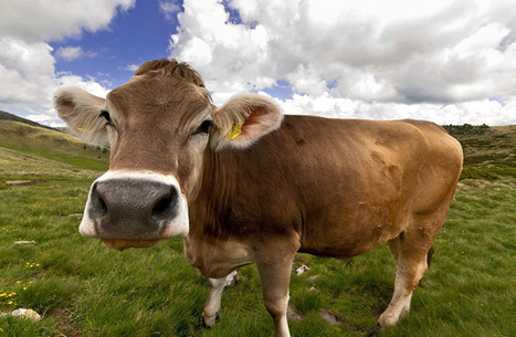 Origin of Modern Cows Traced to Single Herd | Sustainable Farming | Scoop.it