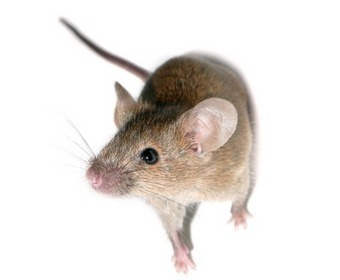 Individual Human Immune Systems Can Now Be Recreated In Mice | Knowmads, Infocology of the future | Scoop.it
