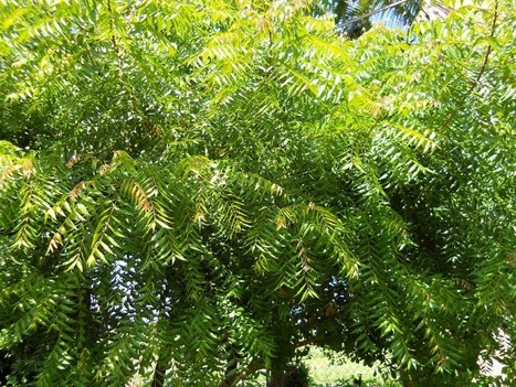 The In numerous Goodness of NEEM | Latest News | Scoop.it