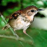 Spotted Antbirds: Feathered Freeloaders at the Ant Parade | All About Ants | Scoop.it