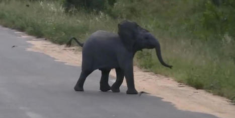 Cute elephant stops safari in its tracks | AP HUMAN GEOGRAPHY DIGITAL  STUDY: MIKE BUSARELLO | Scoop.it