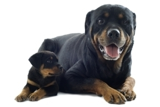 Dog Breed Guide: Rottweiler | Pet Health Tips | Scoop.it