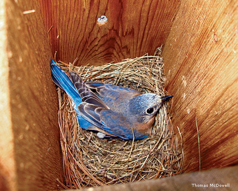 Using Nest Boxes and Web Cams to Help Bluebirds | Social Mercor | Scoop.it