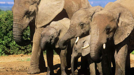 Poaching could wipe out Tanzanian elephants in 7 years: Conservationists | Kruger & African Wildlife | Scoop.it