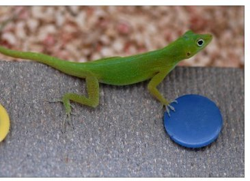 Lizards - smarter than we thought | Food for Pets | Scoop.it