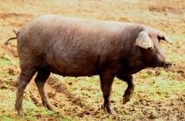 Huelva alberga el 80% de la cabaña de cerdo ecológico de Andalucía | Noticias | Scoop.it