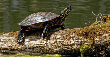 Plastics chemical BPA can make male turtles act like females | Endangered Species News | Scoop.it