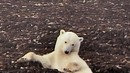 Video -- Highlights from the Polar Bear Cam -- National Geographic | Teach-ologies | Scoop.it