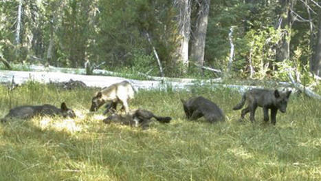 First wolf pack found in California in nearly a century | Natural History, Environment, & Science | Scoop.it