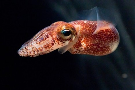 Glowing Bacteria Control Squid Hosts | Amocean OceanScoops | Scoop.it