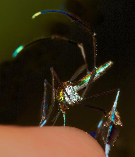 ALLPE  : El mosquito más bello del mundo (si no te pica) | aprendenaturales | Scoop.it