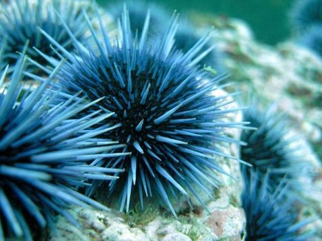 Can Sea Urchins Show Scientists How To Capture Carbon Affordably? | biomimicry | Scoop.it