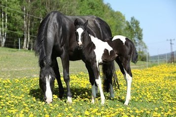 Recipient Mare Traits Passing On to Foals | Equine Reproduction | Scoop.it