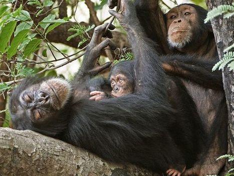 Las chimpancés cazadoras dan pistas sobre los primeros humanos | Arqueología, Historia Antigua y Medieval - Archeology, Ancient and Medieval History byTerrae Antiqvae (Blogs) | Scoop.it