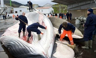 Iceland's fin whales are endangered. Stop this bloody cull | Environment | Scoop.it