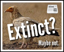 """Extinct"" Vulture Spotted In Kruger Park | Conservation Biology, Genetics and Ecology | Scoop.it"