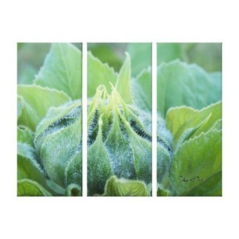 Wet Sunflower Bud Close Up Photograph Gallery Wrapped Canvas from Zazzle.com | Z Photography | Scoop.it