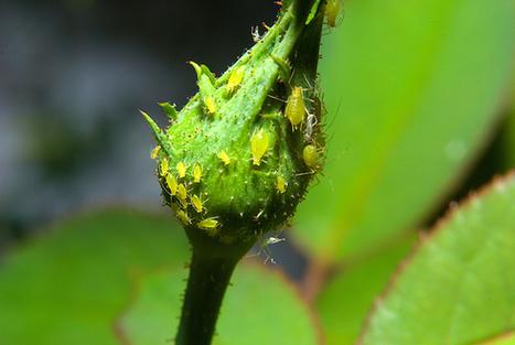 Mini tip #3: Elimina pulgones de forma práctica y ecológica | Agroindustria Sostenible | Scoop.it