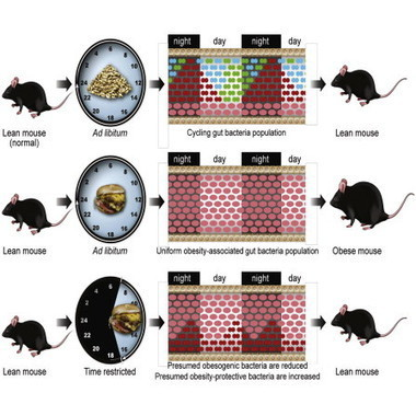 Diet and Feeding Pattern Affect the Diurnal Dynamics of the Gut Microbiome | Systems biology and bioinformatics | Scoop.it