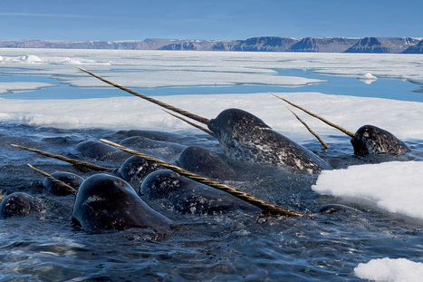 #Narwhal's tusk is super #sensitive, according to new research ~ fascinating* | Rescue our Ocean's & it's species from Man's Pollution! | Scoop.it