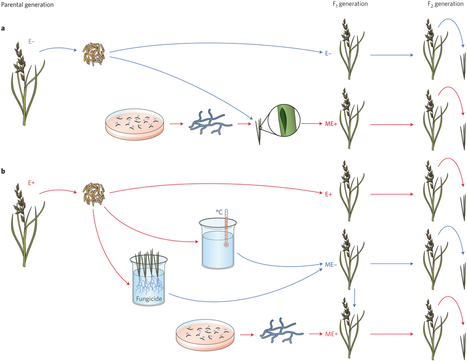 Nature Plants: Epichloë grass endophytes in sustainable agriculture | MycorWeb Plant-Microbe Interactions | Scoop.it