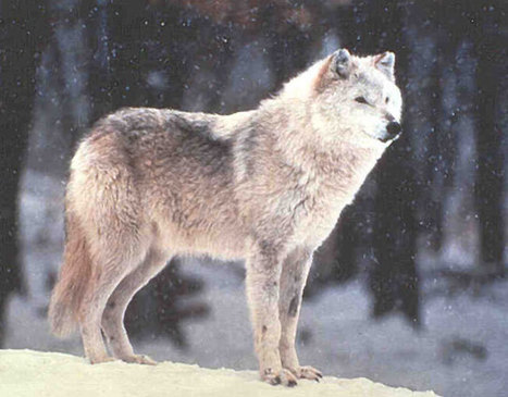 Wolf Tourism: So Hot Right Now in the Midwest - MN, MI, and WI. | IDLE NO MORE WISCONSIN | Scoop.it