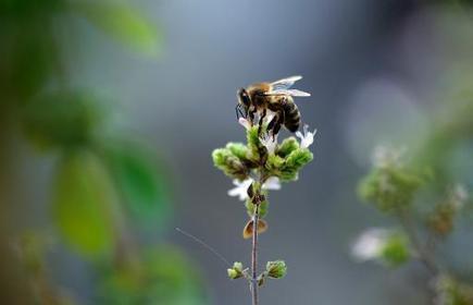 Le Sénat reconnaît l'abeille comme bio-indicateur - Magazine GoodPlanet Info | Étonnant ! | Scoop.it