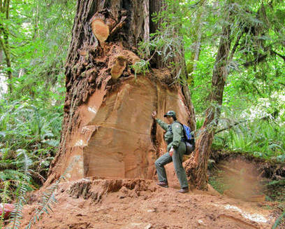Wood poachers attack ancient redwood trees in California | Aspiring Woodworker | Scoop.it