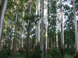 Improving the reference eucalyptus (E. grandis) genome   Plant Genomics   Scoop.it