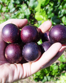 Want to know the Health Benefits of Muscadine Grape Seed? | Muscadinex Longevity | Scoop.it