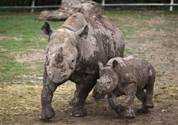 Africa's Western Black Rhino declared extinct   Activism, society and multiculturalism   Scoop.it