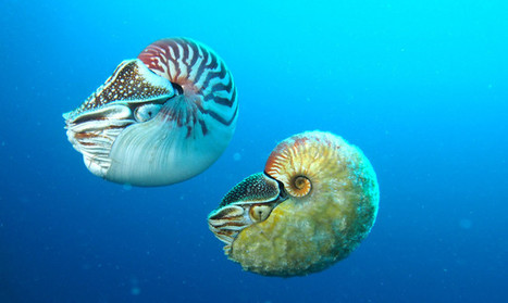 Rare nautilus seen for first time in 30 years - Futurity | Knowmads, Infocology of the future | Scoop.it