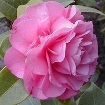 Flowering Shrubs for Shade   Gardens and Gardening   Scoop.it