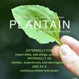 Plantain a Natural Remedies Herbal Plant | The Homestead Survival | Nourish | Scoop.it