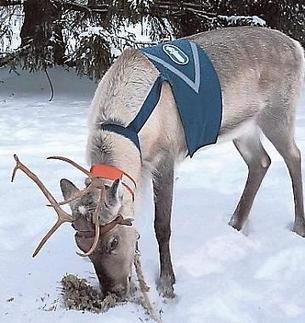 Maija the police reindeer dies in traffic accident | Finland | Scoop.it