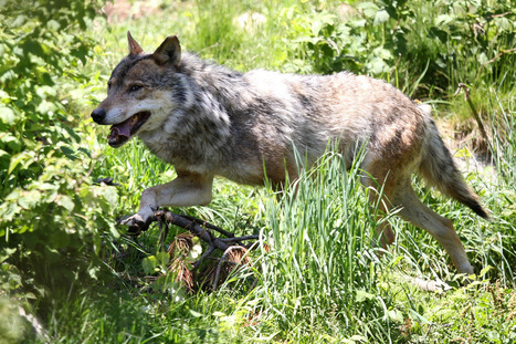 Un loup abattu samedi dans le Vercors | Biodiversité | Scoop.it