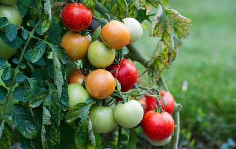 Ford et Heinz vont produire des véhicules à partir de déchets de tomates | Principe innovant 22 | Scoop.it